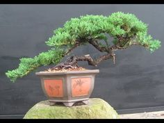 Growing bonsai from their seeds is essentially growing a tree from its seed. Get tips and guidelines on how to grow your first bonsai from its seed phase. Buy Bonsai Tree, Bonsai Tree Care, Bonsai Tree Types, Indoor Bonsai Tree, Mini Bonsai, Bonsai Plants, Bonsai Garden, Bonsai Trees, Succulents Garden