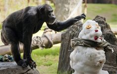 A chimpanzee checks out a snowman at the Houston Zoo, Saturday, July 23, 2011, in Houston. TXU Energy provided over eight tons of snow to build the snowmen and an ice field for the animals and visitors to beat the summer heat.