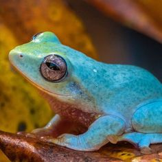 This is the beautiful and very endangered Powder blue mountain frog (Philautus asankai)