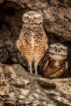 Burrowing Owls // Chevêchettes des terriers -