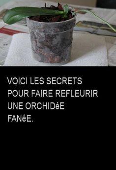 voici les secrets pour faire refleurir une orchid e fan e divers astuces faire refleurir. Black Bedroom Furniture Sets. Home Design Ideas