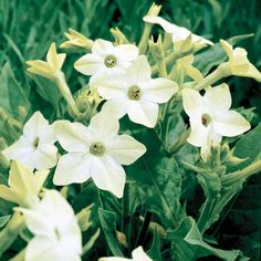 Old-fashioned varieties of nicotiana have a sweet, strong fragrance that is most powerful at night: http://www.bhg.com/gardening/design/styles/fragrant-plant-favorites/?socsrc=bhgpin030315nicotiana&page=4