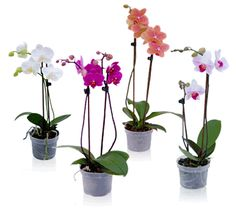 5 easy steps to orchid success.  Great for air cleaner in the bedroom
