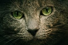 I hope my kitty's eyes turn green like this one. Russian Blue