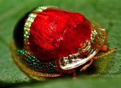 Tortoise Beetle - where's his face ? Weird Insects, Cool Insects, Bugs And Insects, Beetle Insect, Beetle Bug, Cool Bugs, Beautiful Bugs, Mundo Animal, Chenille