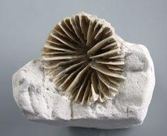 Kreide  Parasmilia centralis  Top Koralle  Grube Saturn  Lägerdorf  T8-12