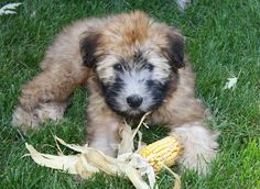 Can't WAIT to get our Soft Coated Wheaten Terrier!!!