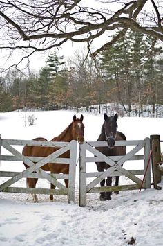 In the pasture, Riley the Quarter Horse and Diesel, a Percheron–Morgan cross, await a winter treat.<<<<< I've always wanted a Morgan-Percheron Cross All The Pretty Horses, Beautiful Horses, Animals Beautiful, Farm Animals, Cute Animals, Mundo Animal, Horse Photography, Night Photography, Horse Love