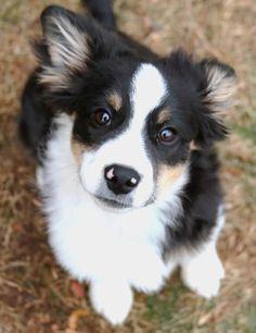 Golden Retriever Border Collie Mix Puppies For Sale Zoe Fans Blog Cute Baby Animals