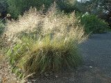 cool Sporobolus Airoides Is a Native Alternative to Mexican Feather Grass (4 photos) Check more at http://igreti.net/sporobolus-airoides-is-a-native-alternative-to-mexican-feather-grass-4-photos/