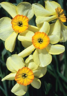 """Lintie daffodil: looks like a miniature, multi-flowered, soft yellow pheasant's eye. The child of a wild jonquil and N. poeticus. It's named for a Scottish songbird and its fragrance – as you might guess from its parents – is heavenly. 8-12"""", zones 6b-8aS"""