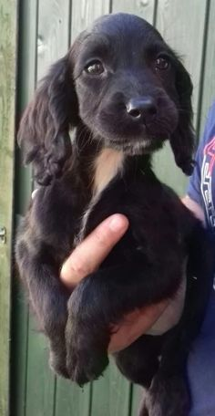 Here i have a beautiful litter of 2 working cocker spaniel puppies. I have 2 boy puppies which are 1 blue chocolate roam. The puppies have been Baby Puppies, Cute Puppies, Cute Dogs, Corgi Puppies, Black Cocker Spaniel Puppies, Spaniel Dog, Spaniel Breeds, Dog Breeds, Working Cocker