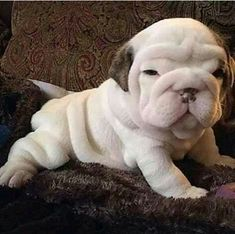 Thursday's Awesomeness: An English Bulldog In The Making. Cute Baby Puppies, Bulldog Puppies, Cute Baby Animals, Cute Dogs, Dogs And Puppies, Funny Animals, Golden Retriever, Labrador Retriever, Retriever Puppies