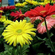 Gerbera Daisy Hybrids Mix Flower Seeds (Gerbera Jamesonii)