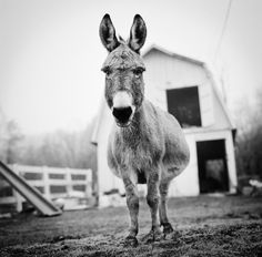 Stunning Black and White Photography Offers a Look into the Inner Lives of Farm Animals