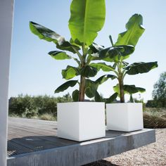 Urban Allotmentsoffers Elho's Pure Square Planters for growing vegetables, herbs plants & trees, a perfect stylish and practical addition to modern and traditional spaces alike for indoor and outdoor use.