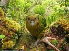 The Kakapo of New Zealand, a flightless parrot, is excedingly rare.  There are thought to be only 126 individuals left :-(