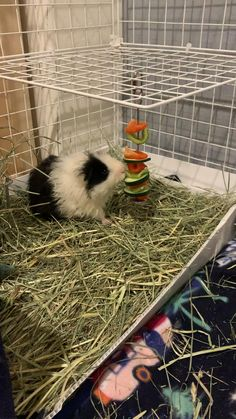 Food For Guinea Pigs, Cages For Guinea Pigs, Indoor Guinea Pig Cage, Diy Guinea Pig Toys, Guinea Pig House, Baby Guinea Pigs, Guinea Pig Care, Guinea Pig Accessories, Guniea Pig
