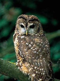 Spotted  Owl, it is a resident of the forests of Western North America, it can be 17 inches long with a wing span of 45 inches, the survival rate of the chicks is only 11%, and they don't breed every year, they mate for life, they live 16-18- years, many have died from starvation and are on the endangered species act
