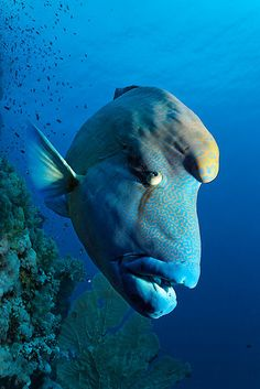 The Napoleon Wrasse. One of the largest reef fishes in the world and the the largest of the Wrasse family. Underwater Creatures, Underwater Life, Ocean Creatures, Life Under The Sea, Beneath The Sea, Salt Water Fish, Beautiful Fish, Mundo Animal, Sea And Ocean