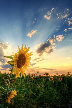 sunflower with sunset
