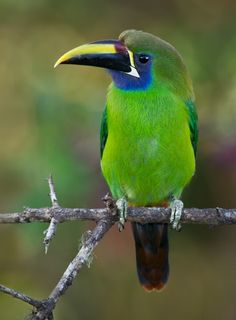 Emerald Toucanet, Central and South America by Doug Brown