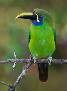 Emerald Toucanet        (photo by Doug Brown)