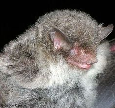 "The Ashy-gray tube-nosed bat (Murina cineracea) was one of 126 new animal and plant species discovered in the Greater Mekong region of Southeast Asia during 2011. The new bat species had been classified as the Scully's tube-nosed bat (Murina tubinaris), until DNA analysis identified it as a separate species. The name ""ashy-gray"" comes from the color of fur on the bats' back; the ventral fur is dark gray, and there is some white fur on the breast area."