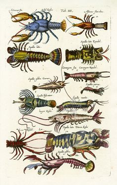 Shrimp - Historia Naturalis de Piscibus et Cetis, Libri V, published in 1657. This work by John Johnston and engraved by Matthaus Merian was much read in the 17th & 18th centuries....