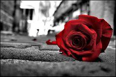 Rose - red on black & white