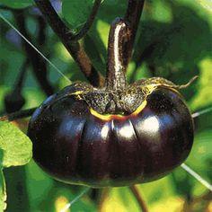長岡巾着茄子|ナス|野口のタネ オンラインショップ