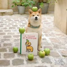 My friend Shiba Inu who lives in Paris! Pom pon has his own books published! Quite celebrity! He was born in Normandy and moved in Paris to live. He is vegetarian who loves food from naturalia or lemo!