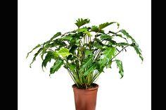 As folhas de verde bem vivo e textura lisa do Xanadu não sobrevivem sob o sol. Os locais que melhor resguardam a planta são aqueles com sombra total ou parcial. Para ela, as regas devem ser feitas de duas a três vezes por semana.