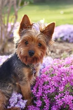 """Oh, Mom, don't pose me by the flowers; I am a MAN. I won't be able to show my nose at the dog park for a week..."" Yorkie thoughts."