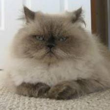 Persian Cats - #Ragdollbreeds - Different type of Cat Breeds at Catsincare.com