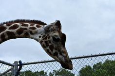 2017-07-03 For my birthday I decided to go to the #NEWZoo in #GreenBay. The main focus of the trip was a wild #zoo encounter to feed the #giraffes. This is Zuri a reticulated #giraffe (Giraffa reticulata). After a while she came to see what we were up to. She was the giraffe that my nephew fed.