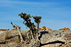 Lions in the Ngorongoro Reserve in Tanzania.