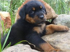 Union Male and Female German Rottweiler Puppies for sale
