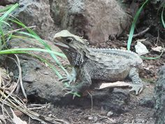 Of all the unique, curious creature in the world, none is curiouser than the reptile known as the tuatara. It lives only in New Zealand. It is neither crocodile nor turtle nor snake nor lizard.