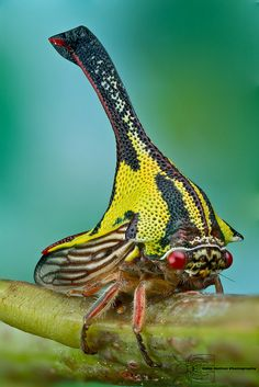 Thorn treehopper - Umbonia crassicornis by Colin Hutton Photography