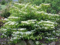 Viburnum plicatum 'Lanarth' - good for clay soil.