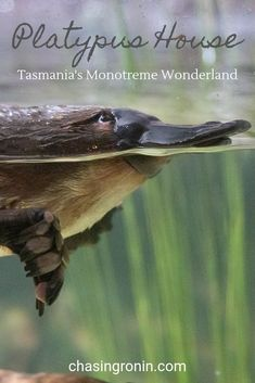 Discover the unique world of monotremes at Platypus House. Learn about the iconic Platypus and Echidnas with their educational guided tour. Baby Platypus, Wonderland, Travel Goals, Travel Oz, Bird People, Echidna, Australian Animals, Australia Travel, Tour Guide