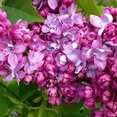 Flieder Syringa vulgaris 'Paul Thirion' - Magentarote Flieder - Flieder-Premium Fliedertraum