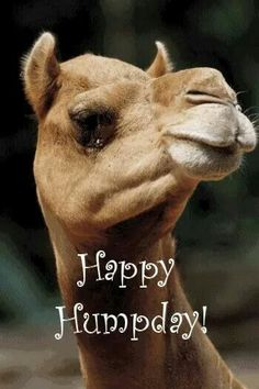 Happy Hump Day quotes quote days of the week wednesday hump day hump day camel wednesday quotes happy wednesday Hump Day Gif, Hump Day Quotes, Wednesday Hump Day, Wednesday Greetings, Hump Day Humor, Happy Wednesday Quotes, Good Morning Wednesday, Wednesday Humor, Weekend Quotes