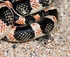 Rhinocheilus lecontei (Long-nosed Snake)