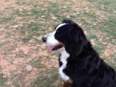 Heidi is an #adoptable Bernese Mountain Dog Dog in #Scottsdale, #ARIZONA. Heidi came to us as a divorce/move situation. Unfortunately she has been neglected for several years. She was in an accident a few yea...