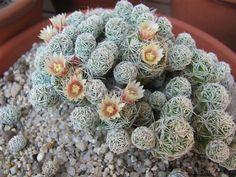 Thimble Cactus (Mammillaria vetula ssp. gracilis)