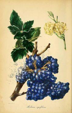 189265 Berberis aquifolium Pursh [as Mahonia aquifolium (Pursh) Nutt.]  / Magazine of botany and register of flowering plants [J. Paxton], vol. 9: p. 5 (1839) [S. Holden]