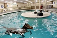 A Thoroughbred named Inthecrosshairs gets a water workout with Mark Dedomenico Jr. in the training pool at Pegasus Training and Equine Rehabilitation Center in Redmond.