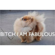 Typical Pom Attitude!! So regal and proud!